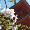 桜彩る春の京都を満喫してきた